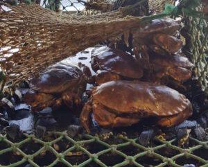 brown-crab