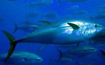 Marine Management Organisation guidance on Bluefin Tuna in UK Waters