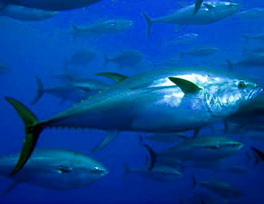 bluefin tuna uk waters