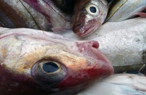 a photo of haddock fish