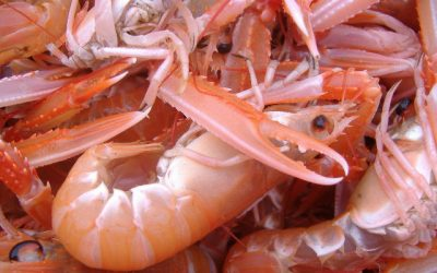 Danish Fisheries Association recommends increasing Nephrops Allocations