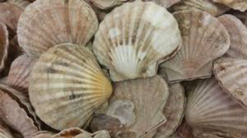 MMO announces Suspension of Scallop fishing in parts of the North Sea
