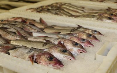 Expert Paper from Shetland Fishermen's Association questions MSY