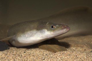 FishSec receives funding towards advocacy work on European eel