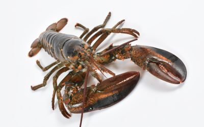 Cefas launches campaign to retain & report American Lobster catches