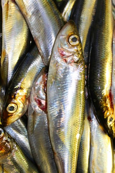 Baltic herring sprat MSC