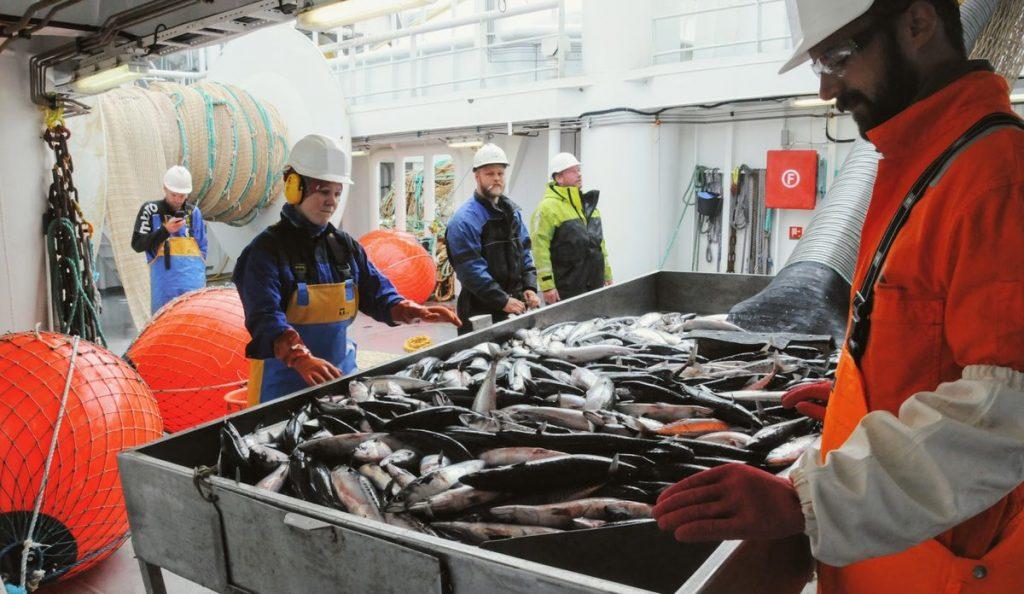 mackerel norwegian sea