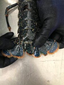 illegally caught lobsters southeast