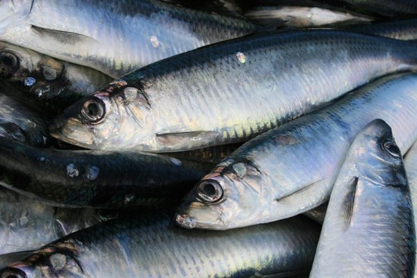 NIFA Celtic Sea Herring
