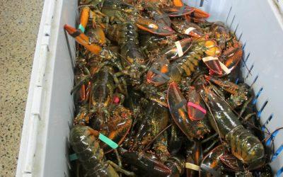 Irish lobster fishers will be big losers in US tariff free agreement