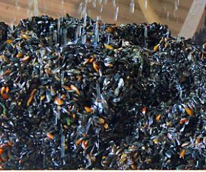 BIM Preliminary Seed Mussel Survey finds beds under threat from Starfish