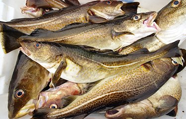 Danish National Cod Plan has come into effect as of the 15 August