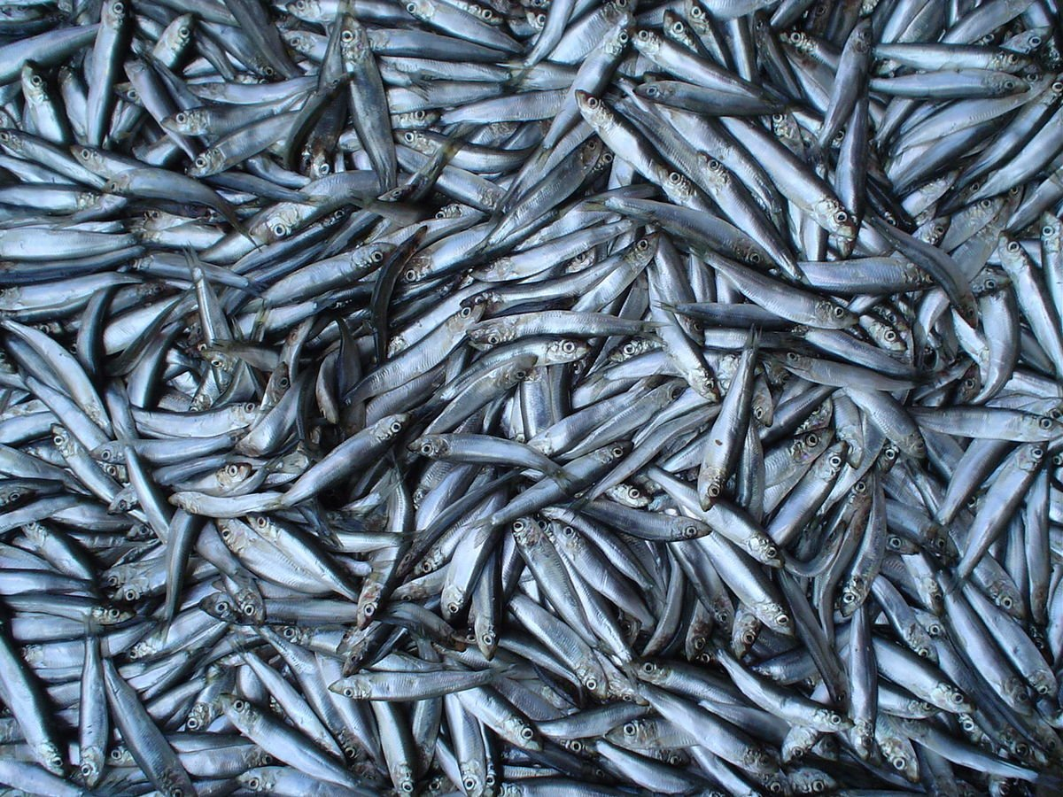 Danish autumn sprat season