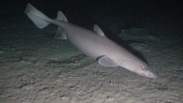 deep-water sharks rays