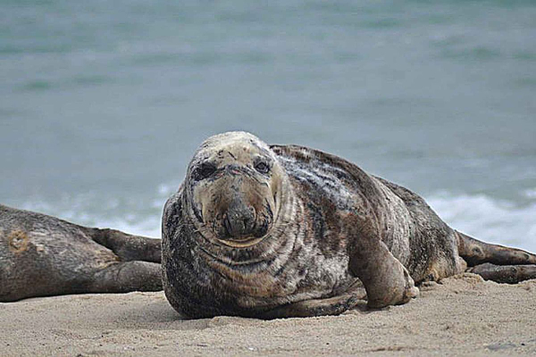 licences cull seal problem