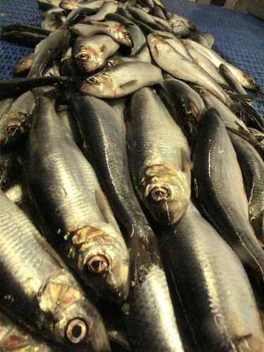The North Sea Herring season is coming to a close for the Norwegian fishing fleet