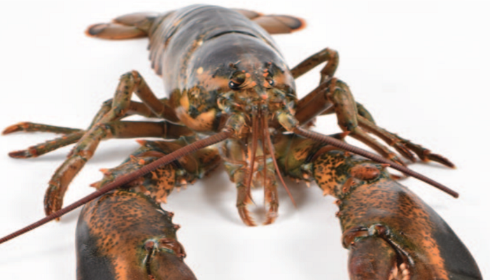 Marine Scotland American Lobster