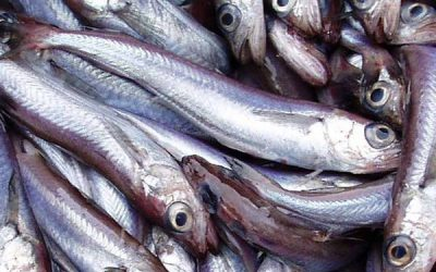 Agreement reached on Blue Whiting for North-East Atlantic