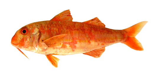 ICES Advice 2021 Striped Red Mullet
