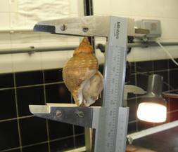 legal size of whelk ifca