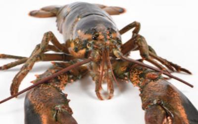 EU International Trade Committee backs deal on American lobsters