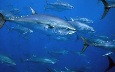 Irish fishers frozen out from lucrative bluefin tuna fishery in Irish waters