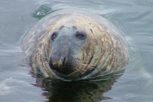 Norwegian Fishermen's Association has proposed a shot premium for the culling of seals cull in 2021