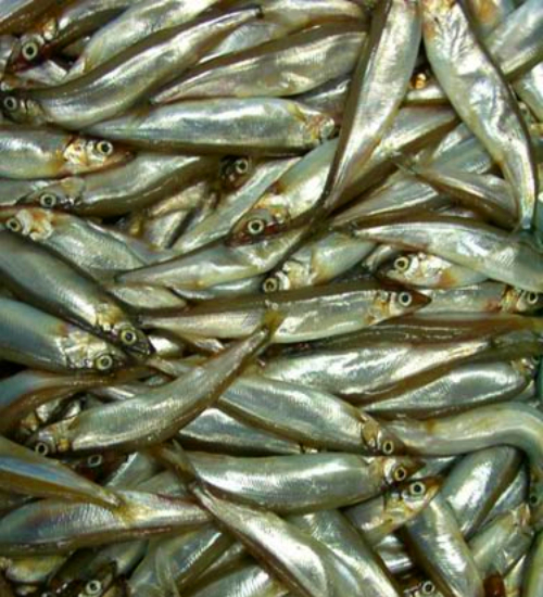 The advice on the capelin quota for 2021 has been adjsted to 61000 tonnes