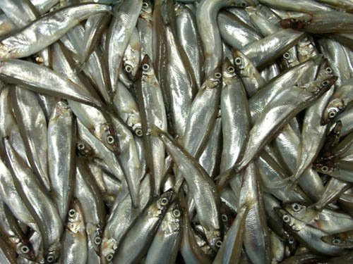 norwegian boats iceland capelin