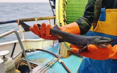 Dutch beam trawler catches unusual carbon black dogfish in North Sea