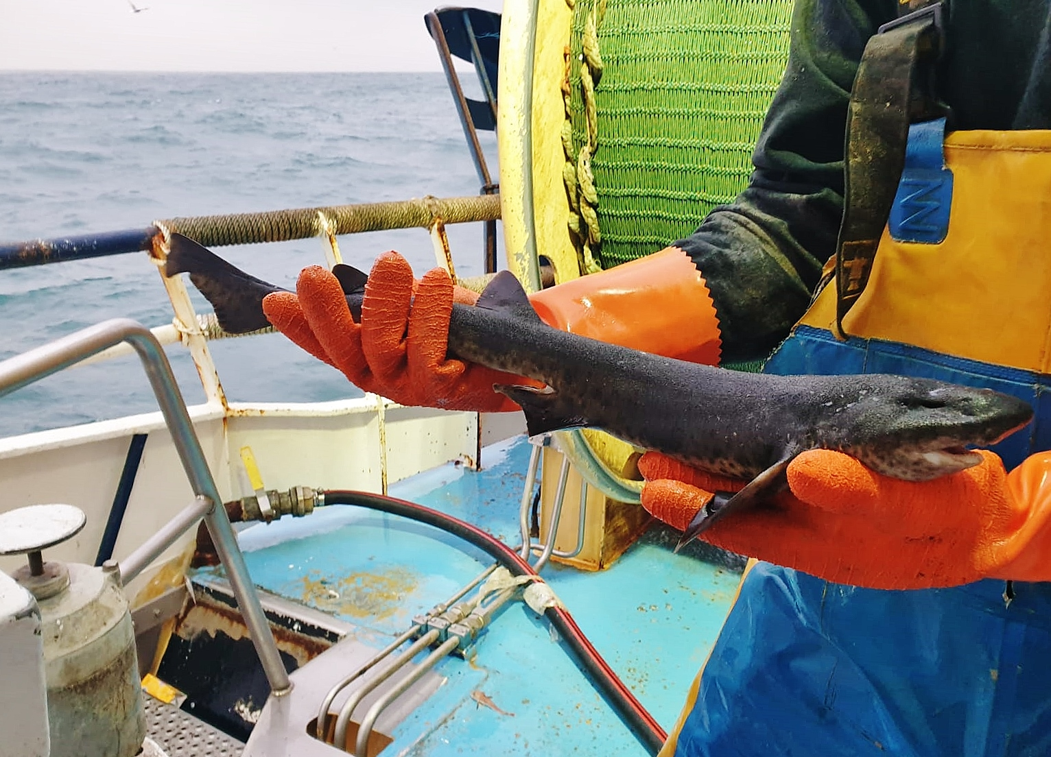 A Dutch beam trawler caught an unusual black dogfish whilst operating in German waters but was it a dogfish or another species?