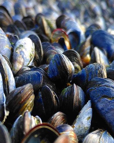 EU bans the importing of live Class B bive valve molluscs like mussels from UK