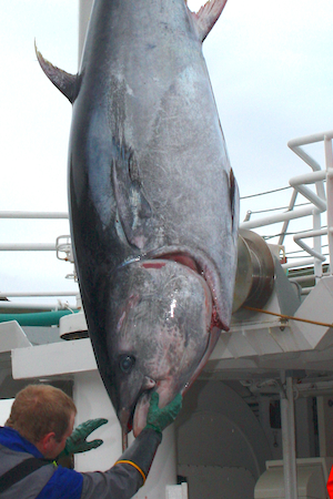 Norwegian bluefin tuna quota has been set at 315 tonnes for 2021