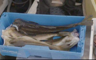 Norway cod and haddock Marine Stewardship Council certification status