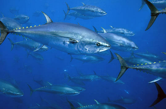 The European Parliament has backed management plann for bluefin tuna caught in the eastern Atlantic and Mediterranean Sea