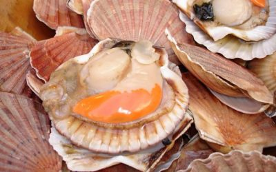 NWWAC advises on French proposal for King Scallop fishery in English Channel