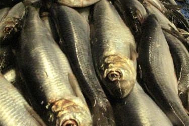 Scottish Herring Fishermen Pioneer New Science Work