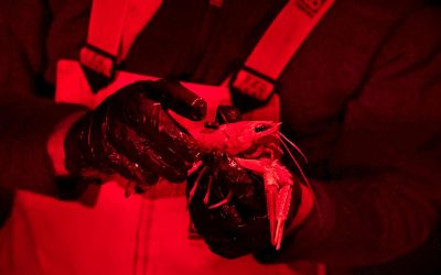 Icelandic lobster study shows decreased activity with shorter sunrise
