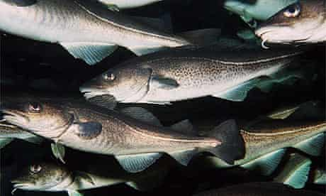 The MSC has announced an update on the status of Norway cod and haddock certification