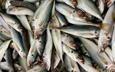 ICES issues assessment on rebuilding Western Horse Mackerel