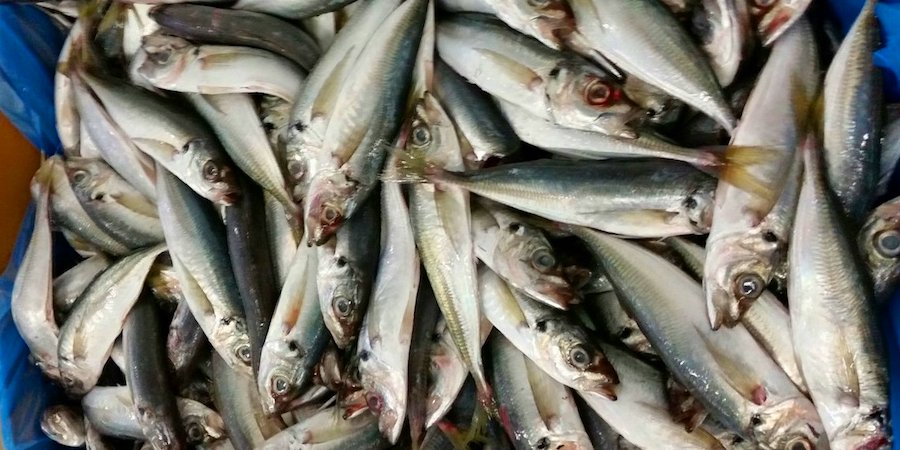 The ICES has issued its assessment of a new rebuilding plan for western horse mackerel to the EU Commission and PELAC