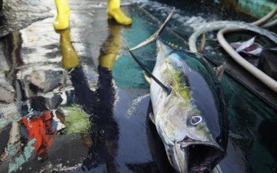 Rapid growth in Marine Stewardship Council certified tuna