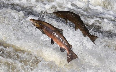 Sea salmon fishing is no threat to either salmon or river fishing