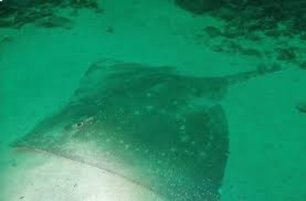 Could the south-west of Ireland be an important sanctuary for critically endagerned skates and rays?