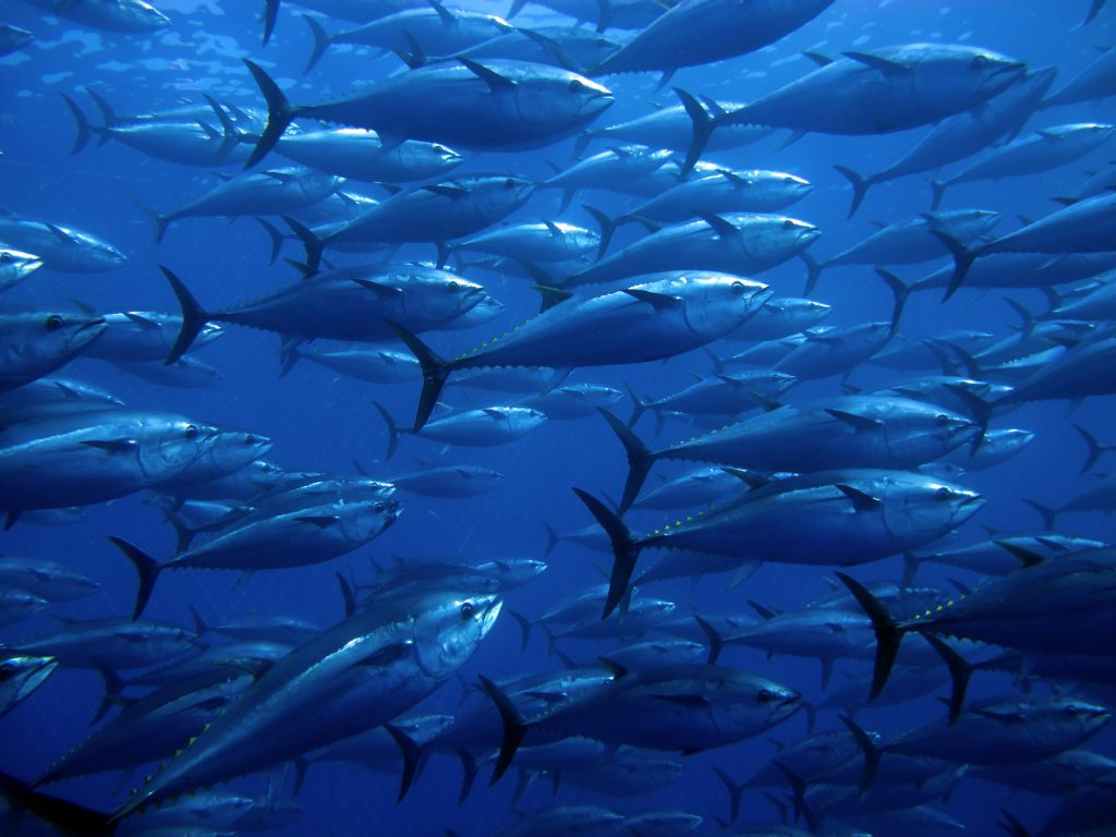 A French court has examined the request against the 2017 bluefin tuna quota allocation order brought by small businesses