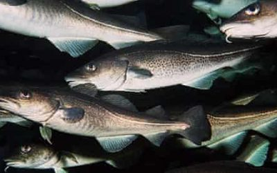 Norwegian cod fishery outside 12nm receives new MSC Certificate
