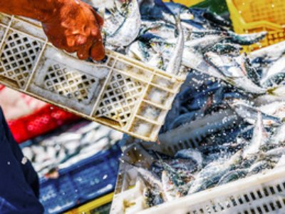 The rate of overfishing is back on the rise according to Oceana with 43% of Atlantic fish populations assessed being overfished