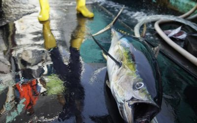 EU pushes stricter catch limits on yellowfin tuna in Indian Ocean