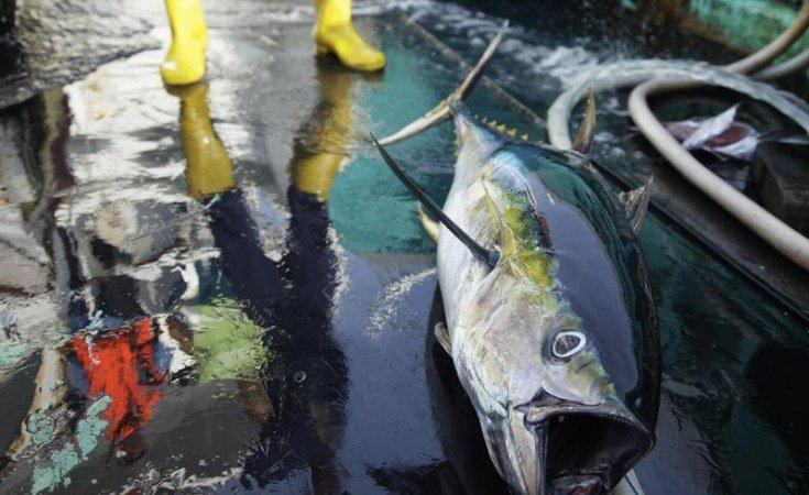 EU pushes stricter catch limits on yellowfin tuna