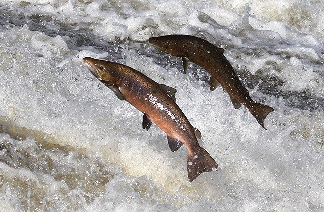 New study reveals the migration route of Atlantic salmon at sea and raises concerns about effects of climate change